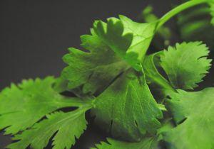 Extra cilantro inspires an impromptu pesto.